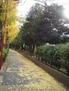 代々木公園のイチョウ